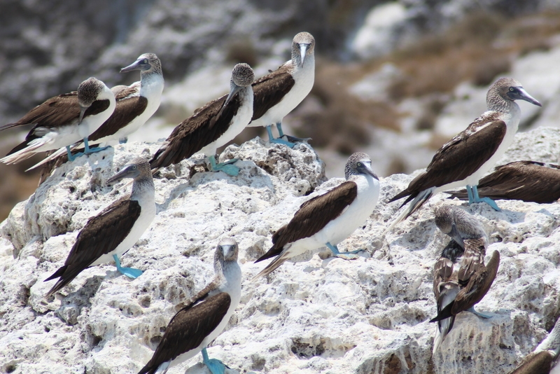 More blue-footed boobies