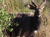 kudu-001