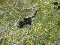 Black Howler Monkey with Baby
