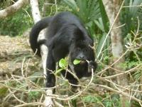 Black Howler Monkey Munching on New Leaves