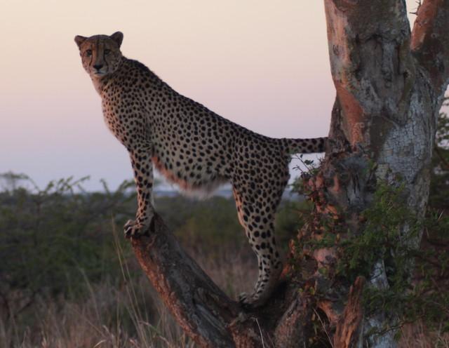 African safari big cats