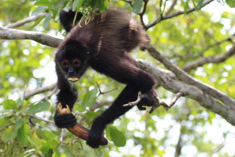 Monkey at Lamanai