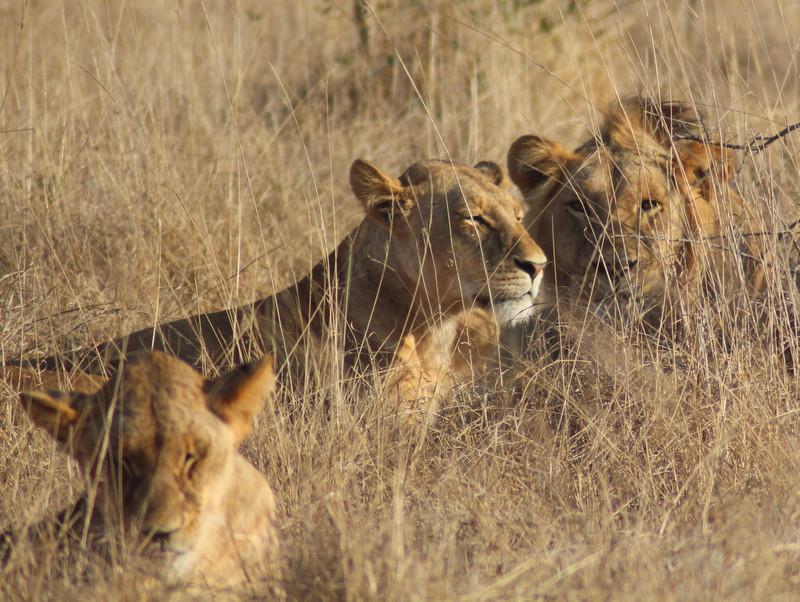 Lions of Tsavo