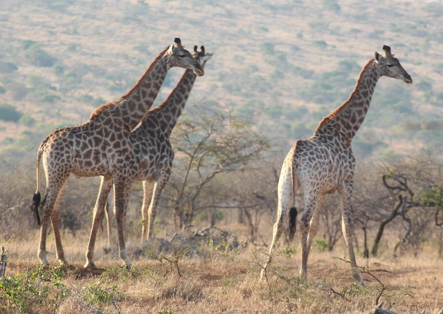 African Safari Giraffes