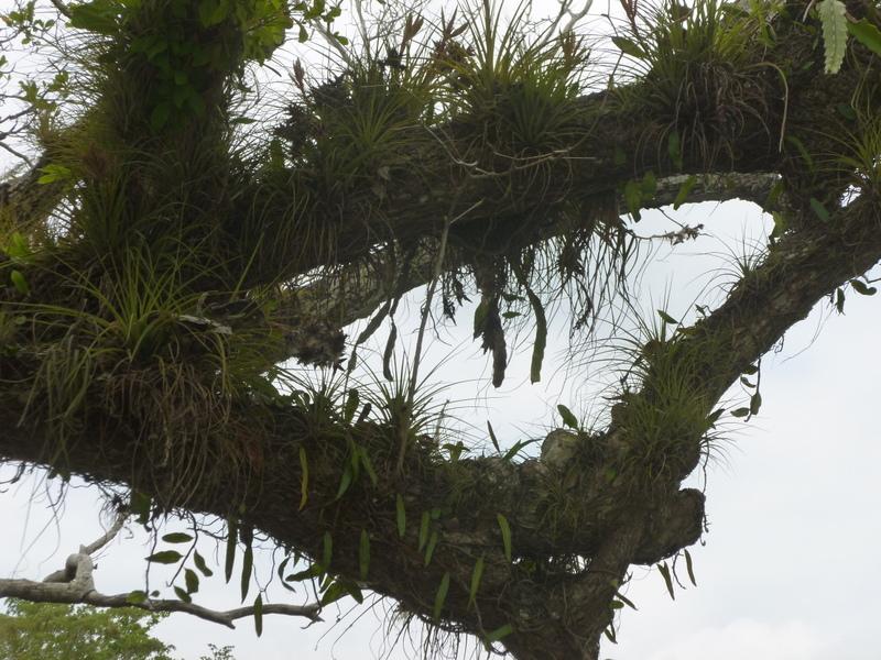 Lamanai/New River Tree