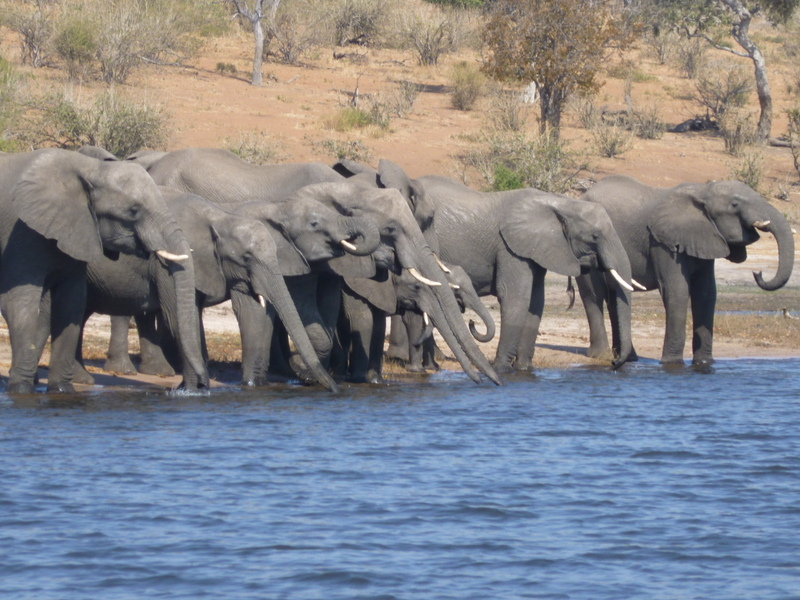 Elephants Drinking at the River