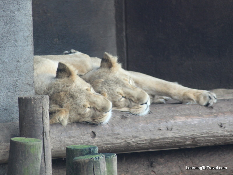Lions at the London Zoo