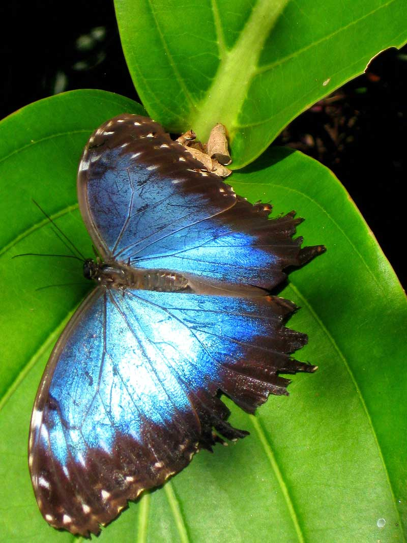 Peleides Blue Morpho, Common Morpho, or The Emperor