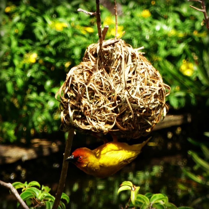 Vitelline Masked Weaver bird in Kenya