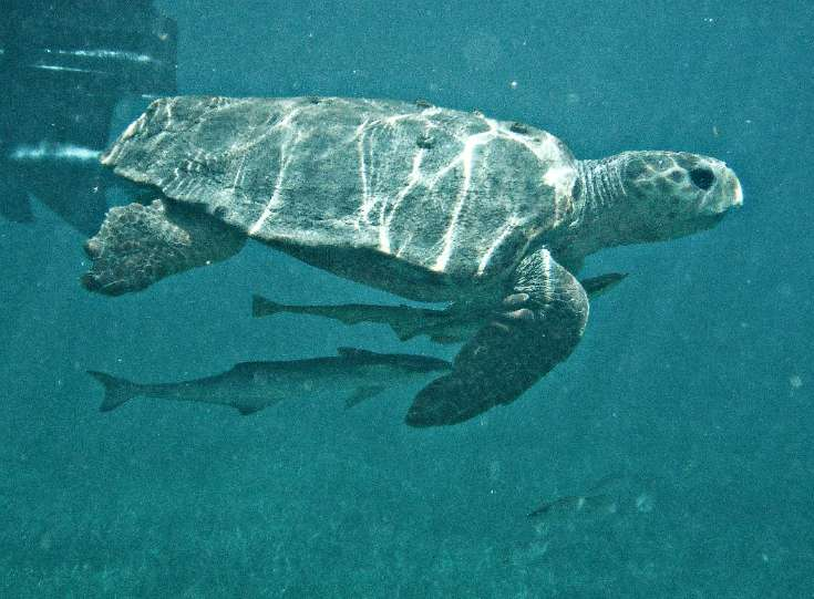 sea turtle off the coast of Belize
