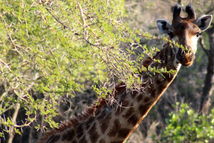 a giraffe looking around a tree in south africa