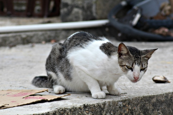 livingston guatemala cat