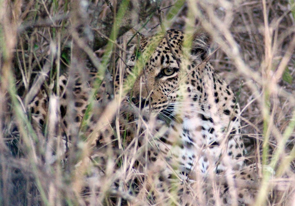 south africa leopard